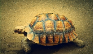 Desert Sun: Desert Tortoises to be Airlifted from Combat Center